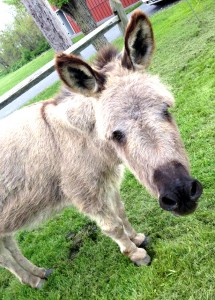 winery-pet-donkey