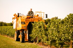 Picking Chardonnay Grapes August 30, 2012