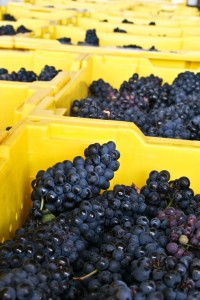 Swedish Hill's 2012 Pinot Noir Grapes freshly picked.
