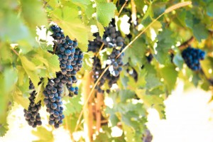 Pinot Noir grapes hanging on the vine at Swedish Hill Winery